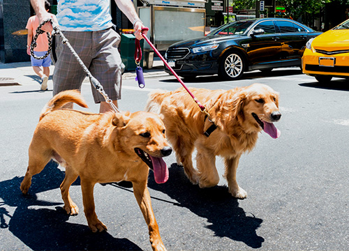 Walking dogs in the city